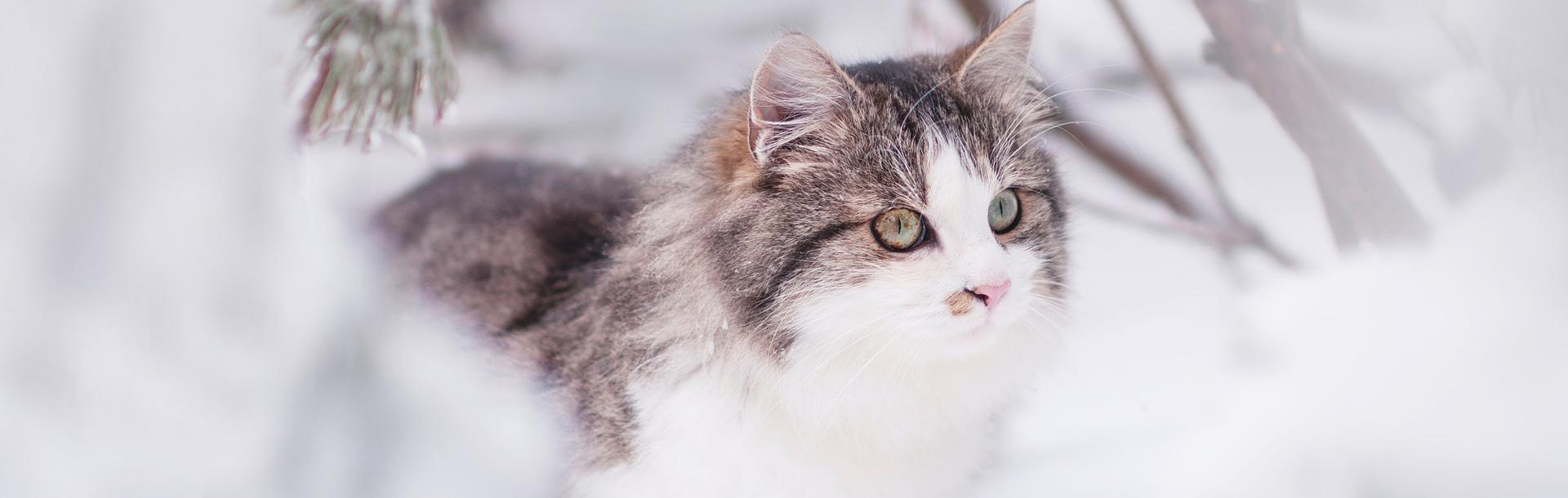 Come capire se il tuo gatto ha freddo, Schesir