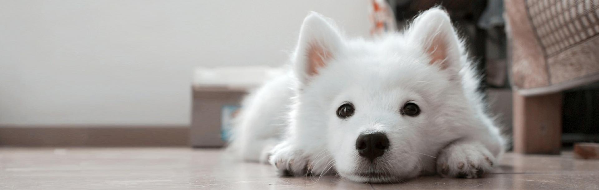 L'alimentazione del cane in gravidanza e dei suoi cuccioli, Schesir