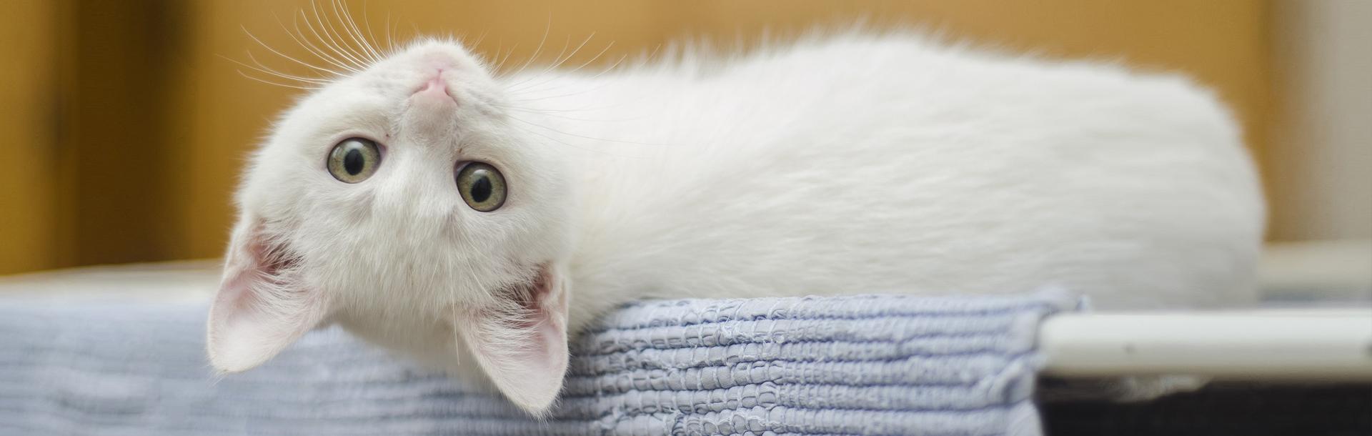 Arriva un gattino, Schesir