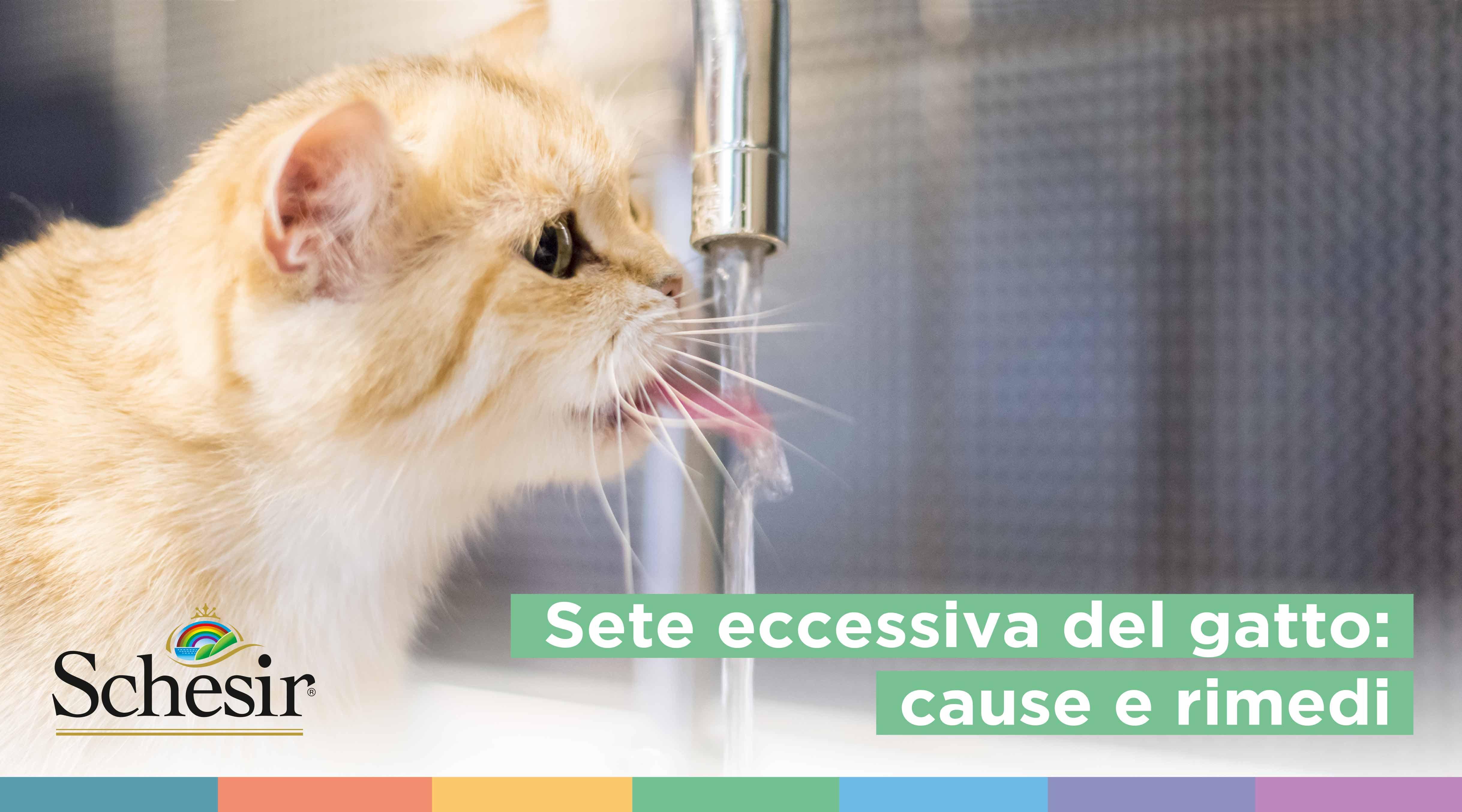 Sete eccessiva del gatto: cause e rimedi, Schesir